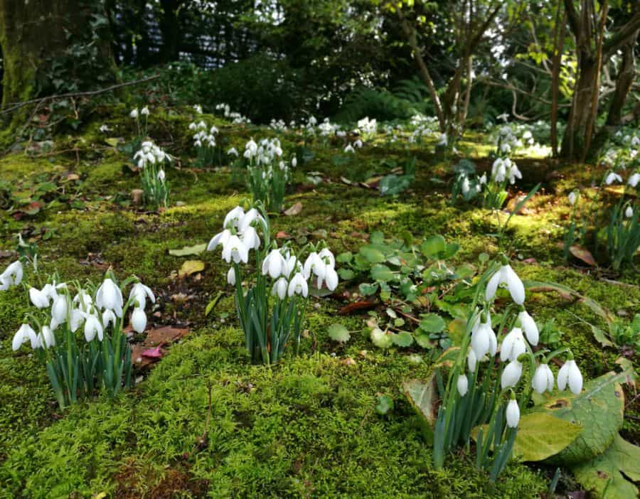 Snowdrops at The Lost Garden of Heligan Cornwall