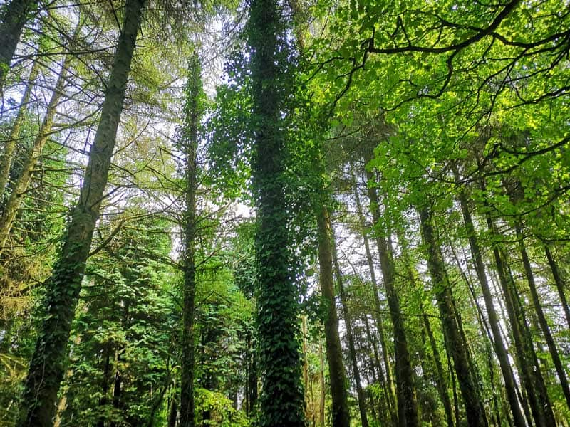 woods at Wheal Martyn